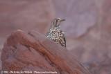 Mistle ThrushTurdus viscicorus deichleri