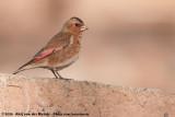 African Crimson-Winged FinchRhodopechys alienus