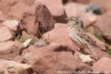 Rock SparrowPetronia petronia barbara