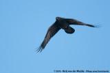 Northern RavenCorvus corax tingitanus