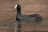 Red-Knobbed CootFulica cristata