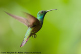 Hummingbirds  (Kolibries)