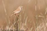 African Desert WarblerCurruca deserti