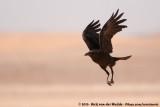 Brown-Necked RavenCorvus ruficollis