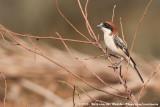 Woodchat Shrike  (Roodkopklauwier)