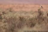 Black-Eared Wheatear spec.Oenanthe hispanica/melanoleuca