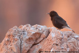 Black WheatearOenanthe leucura riggenbachi