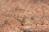 Fat Sand Rat  (Vette Zandrat)