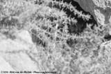 Pharaoh Eagle-OwlBubo ascalaphus