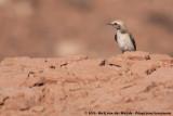 Maghreb WheatearOenanthe halophila