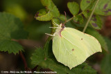 Common Brimstone (Citroenvlinder)