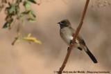 Common BulbulPycnonotus barbatus barbatus