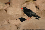 Red-Billed ChoughPyrrhocorax pyrrhocorax barbarus