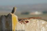 Little OwlAthene noctua glaux