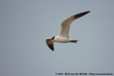 Caspian Tern  (Reuzenstern)