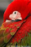 Red-And-Green Macaw  (Groenvleugelara)