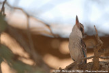 Striped KingfisherHalcyon chelicuti chelicuti
