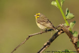 Yellow-Fronted CanarySerinus mozambicus mozambicus