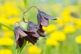 Dandi Chocolate Lily