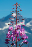 Fireweed Spike