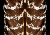 Feather Konfabulation - 4