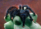(Aptly Named) Pink-Toe-Tarantula