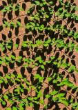 Wall-Vines