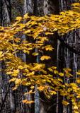 Fall-Leaves-2015---1