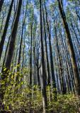 Poplars-in-Fall
