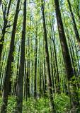 Poplars-in-Spring---2016
