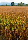 Corn-Field---2