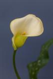 Canna Lily.JPG