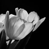 Tulips - Black  White.JPG