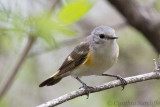 American Redstart (f)