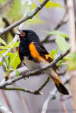American Redstart (m)