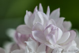 Lilac -Beauty of Moscow