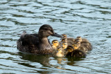 Mallard/Black Ducklings - Series