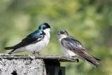 Swallows feeding their young