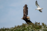 Bald Eagle being chased by a gull