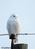 Snowy Owl Number 2