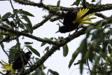 Yellow-winged Caciques.jpg
