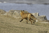 The Quick Red Fox 3 of 3