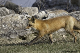 The Quick Red Fox 2 of 3