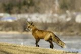 The Quick Red Fox jumped over the rocks...1 of 3