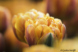 Another Beautiful Tulip
