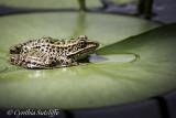 Frog Pad