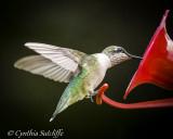 Ruby-throated Hummingbird continued