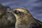 Rusty Blackbird - Nictitating Membrane