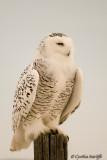 Snowy Owl On Post (female)