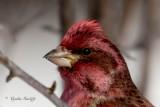 Purple Finch 1 of 2
